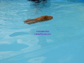 Guinea pig swimming