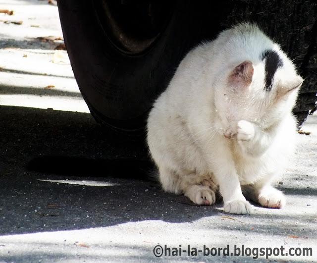 pisica alba baile herculane