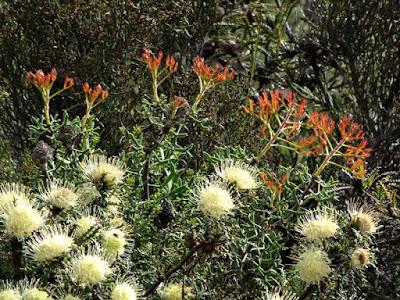 Showy Dryandra (Banksia polycephala)