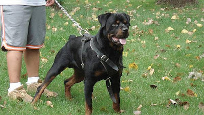 rottweiler amazing protecting