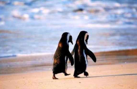 el amor de los pinguinos, pinguinos enamorados, pinguinos amor eterno