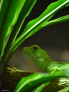green taronga lizard