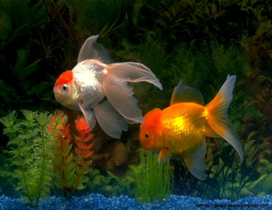 Golden Fish Wallpaper | Amazing Wallpapers