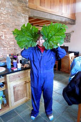 huge rhubarb leaves