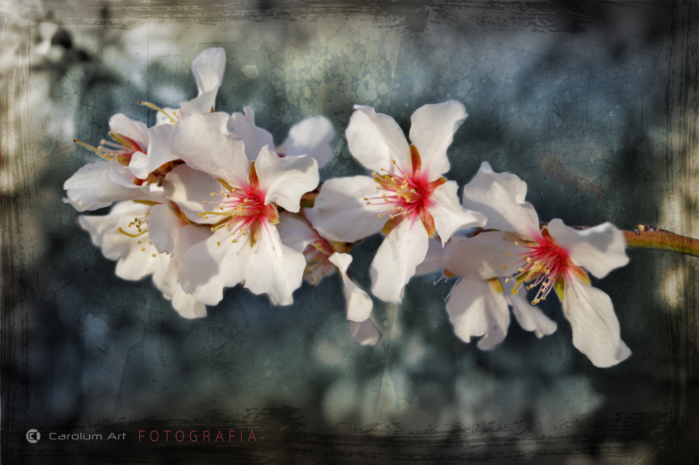 flor-del-almendro-fotografia-carolum-art