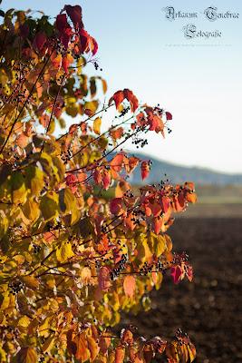 Herbstlich verfärbter Holunderstrauch