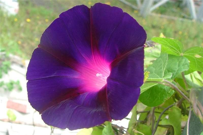 Meu jardim em flor ipomoea purpurea for Ipomea purpurea