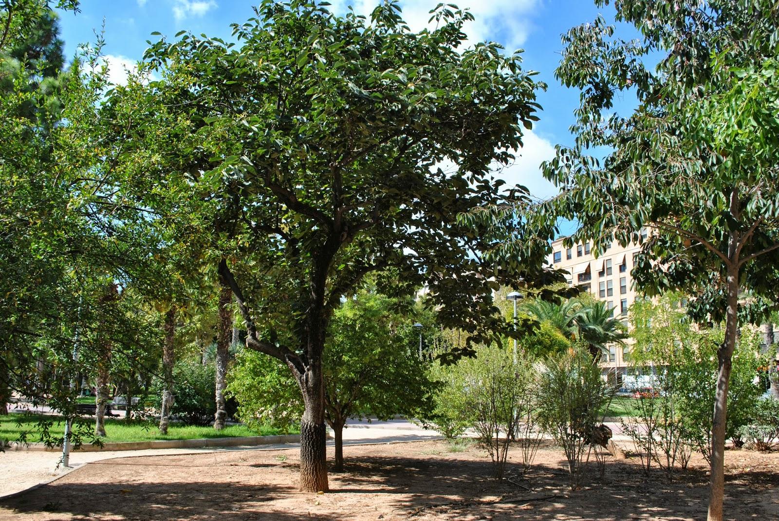 plantas y jardines de castell n el caqui ii parque On arbol vecero