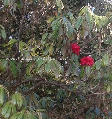 uttarakhand burans flower
