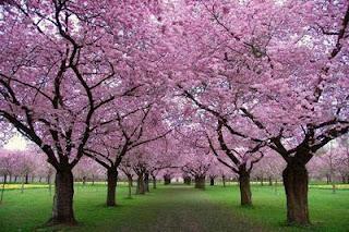 wiosna drzewa kwitną