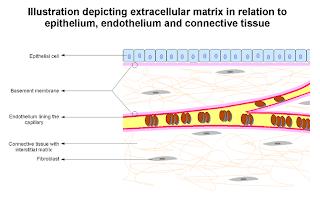 Tecidos textos sobre fisiopatologia httpenpediawikiimageextracellularmatrixg ccuart Image collections