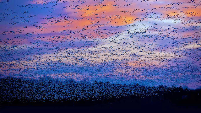 Snow goose migration at the Saint-François River, Quebec, Canada (© David Doubilet/Getty Images) 584