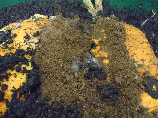 organic pumpkin in worm wigwam with sclerotinia sclerotiorum
