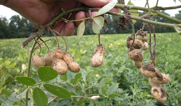 Taksonomi Tanaman Kacang Tanah