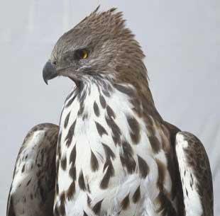 Foto Burung Elang Brontok Fase Peralihan
