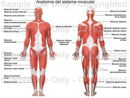 De Todo Un Poco¡¡¡: !!Sistema Muscular Humano!!
