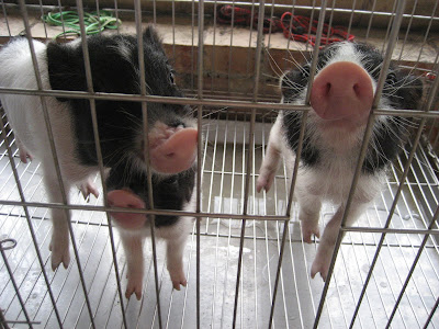 Pigs in cage in Taiwan