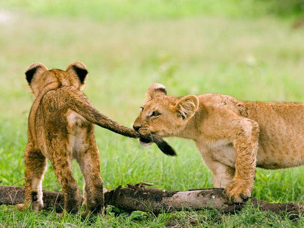 +amazing+lion+safari+pictures+amazing+wildlife+lion+picture+cute+lion ...