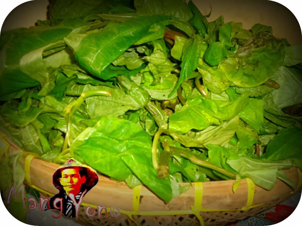 Manfaat dan Khasiat dari daun pohpohan (Pilea melastomoides)