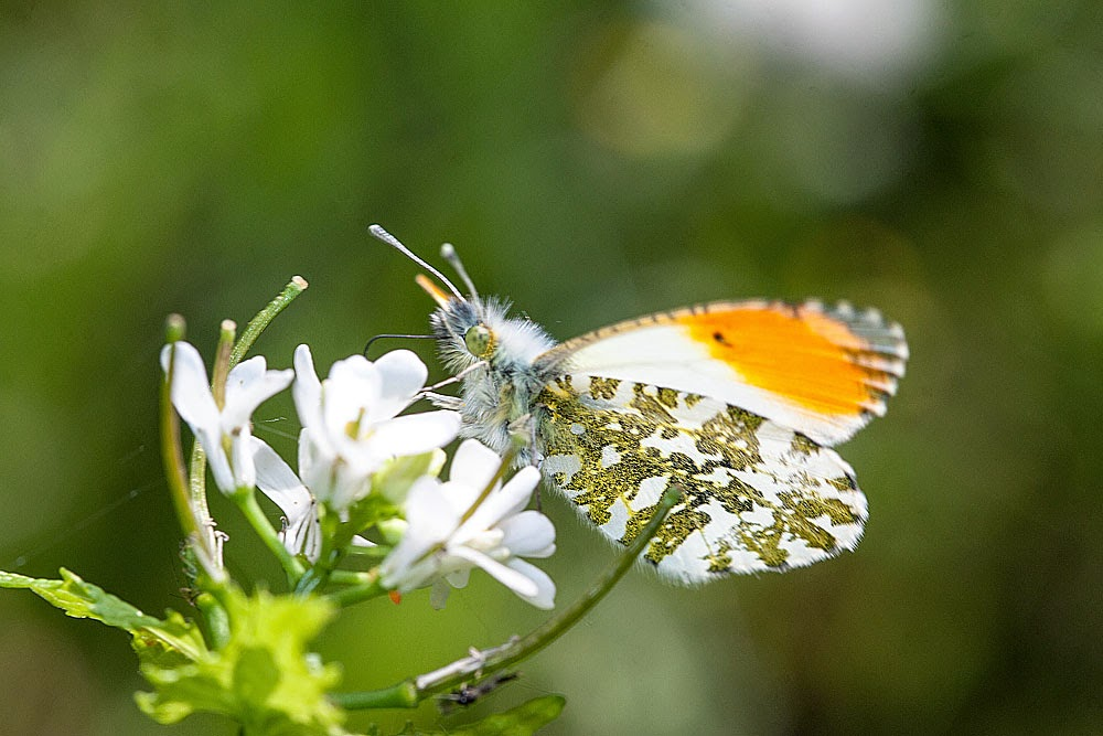 Orange Tip - Lodge Lake, Milton Keynes