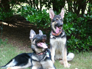 german shepherd dog pets species breeds puppy puppies trained skilled