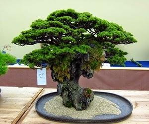 """<img src=""""bonsai15.jpg"""" alt=""""foto bonsai"""">"""