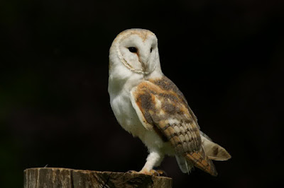 tyto alba owl, tyto alba barn owl, barn owl tyto alba facts, barn owl tyto-alba for sale, barn owl (tyto alba) siblings vocally negotiate resources, barn owl tyto alba sounds, barn owl tyto alba kaskus, barn owl tyto alba facts, barn owl tyto-alba for sale, harga owl tyto alba, barn owl tyto alba kaskus, barn owl (tyto alba) siblings vocally negotiate resources, barn owl tyto alba sounds, barn owl tyto-alba for sale, barn owl (tyto alba) siblings vocally negotiate resources,