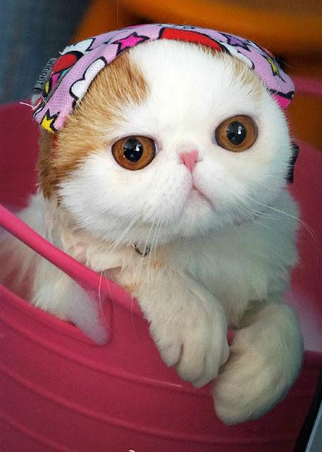 Foto-foto kucing paling imut bernama Snoopy 09