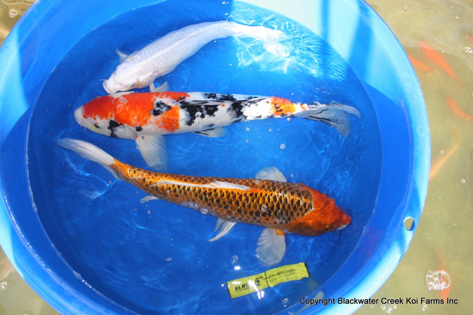 Koi for sale car interior design for Expensive koi carp for sale
