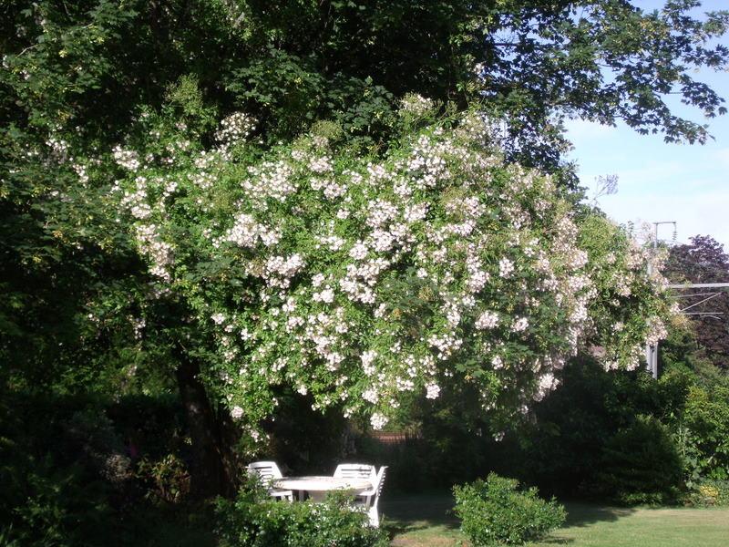 atelier du li vre blanc rosier ancien grimpant 39 rosa filipes kiftsgate 39. Black Bedroom Furniture Sets. Home Design Ideas