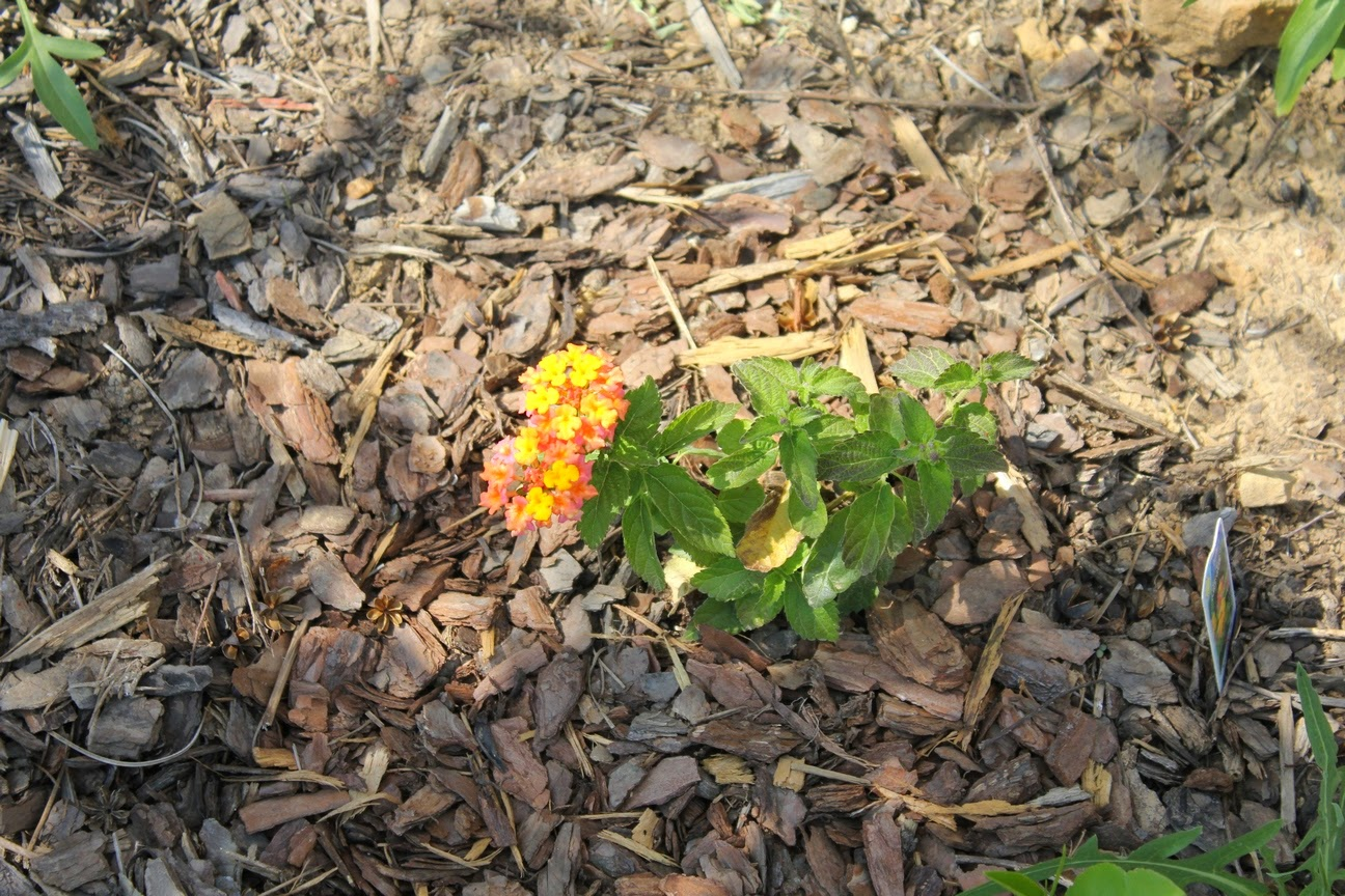 Garden Of Aaron What A Difference Six Months Makes Lantana