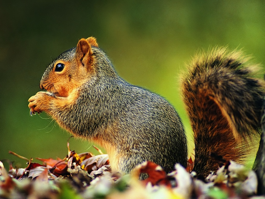 cute squirrel free background - photo #33