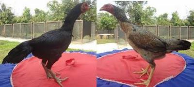 gambar indukan ayam bangkok betina