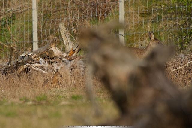 Ree met kalfje van een paar dagen oud - Roe Deer with calf a few days old