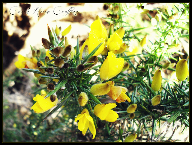 Scottish Gorse, Gorse flower, Whins, Gorse bush