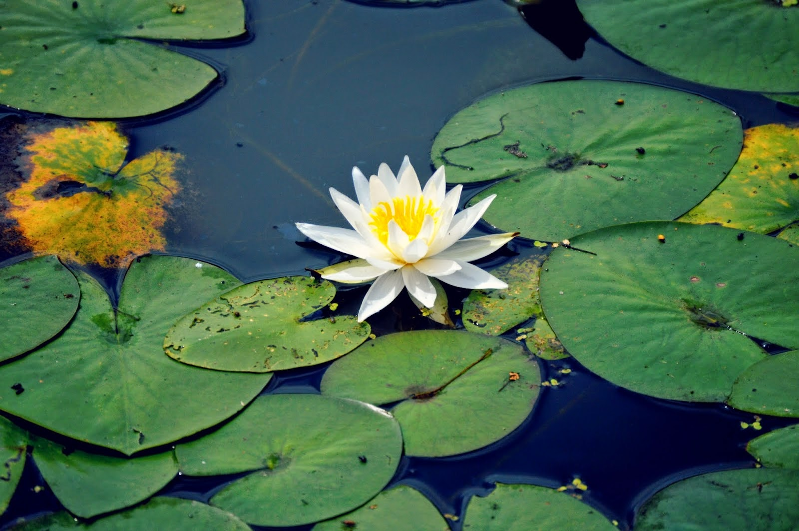 Lily pad flower Wallpapers