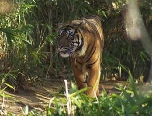 Harimau Sumatra liar di Hutan