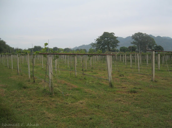 Grapevines of Vin de Ray winery
