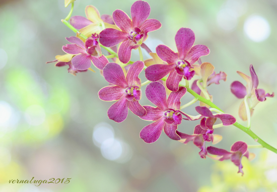 Orchid, Floral Photography by Verna Luga