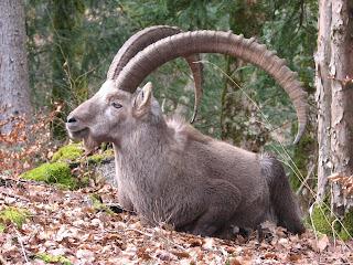 intrepid ibex