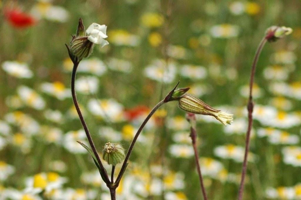 természet, virágok, vadvirágok, tavasz, hólyagos habszegfű