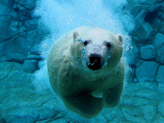 polar bear swim wild animal wallpaper