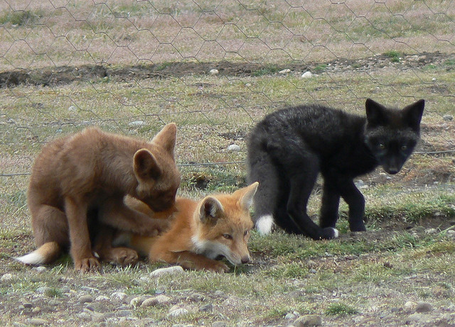 Island Foxes Compared To House Cat