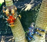 Kepiting Kelapa atau Ketam Kenari
