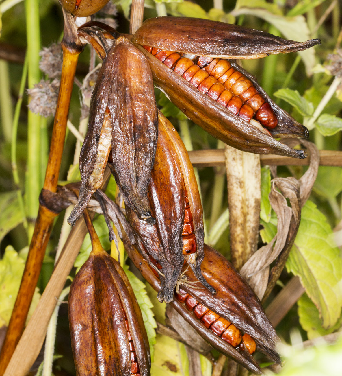 Seed pods of Yellow Iris, Iris pseudacorus.  Spring Park, 17 October 2014.