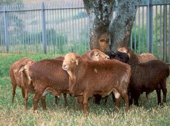 Pecora Masai rossa