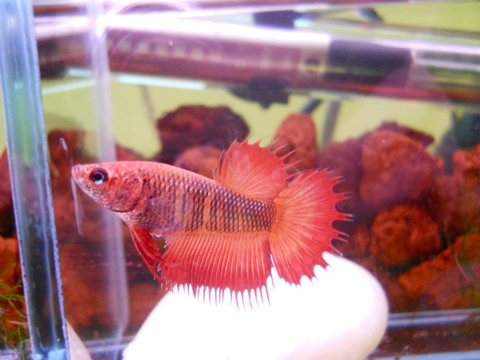 Breeding And Raising Betta Fish Betta Fish Questions