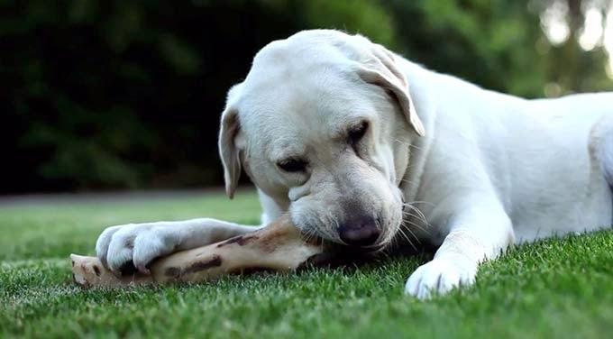 Cachorro pode comer osso?
