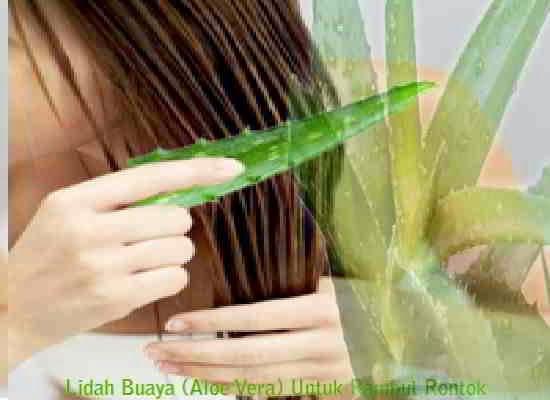 Lidah Buaya (Aloe Vera) Untuk Rambut Rontok