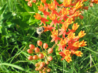 Pleurisy Root (Asclepias Tuberosa) Overview, Health Benefits, Side effects